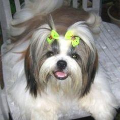 Shih-Tzu-Grooming-Tips http://whatstrendingonline.com/shih-tzu-grooming-tips/