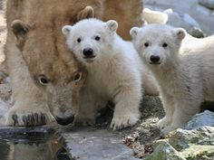 Two polar bear cubs stand next to their mother, Cora, in their enclosure at the zoo in Brno, Czech Republic.