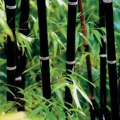 Phyllostachys nigra (Black Bamboo). Expected Height: 20 to 35 feet Diameter: 2.25 inches