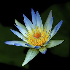 Tropical water lily by shinichiro*, via Flickr