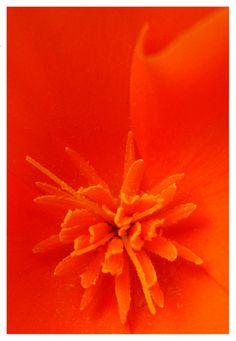Orange flower close up. Orange Clair, Jaune Orange, Orange Zest, Burnt Orange, Happy Colors, Warm Colors, Foto Macro, What's My Favorite Color, Orange Aesthetic