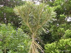 T.E.R:R.A.I.N - Taranaki Educational Resource: Research, Analysis and Information Network - Pseudopanax ferox (Savage lancewood)
