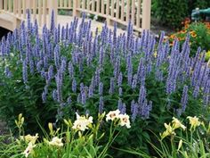 "Agastache Blue Fortune Over 5+ months of continuous blooms 100's of fragrant blue-lavender flowers Thrives in heat, drought & humidity Attracts dozens of butterflies Deer Proof Sun Perennial! View All Drought Proof Plants Zone 5,6,7,8,9, Blooms Early Summer - Fall 36"" X 24"""
