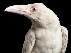 """malformalady: """" Rare Albino Raven named Pearl — one of only four known in the world — who was unfortunately murdered this year """""""