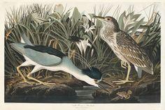 John James Audubon - Plate 236 Night Heron or Qua Bird, 1834