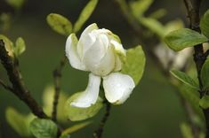 Fertilizer provides gardenias with important nutrients to boost plant growth and flowering. However, it takes the right kind of fertilizer applied at the . Gardenia Fertilizer, Fertilizer For Plants, Organic Fertilizer, Organic Gardening, Gardenias, Plant Growth, Plant Care, Compost, Gardenia Care