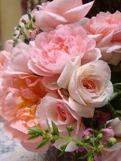 English Cottage Rose