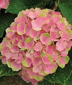Nothing more versatile in the garden as Hydrangea.