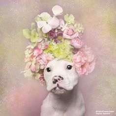 "French Photographer Stands Up For Animal Rights Through ""Pit Bull Flower Power"" Project  Sophie Gamand is a French photographer and animal rights advocate based in New York city. Since 2010, her award-winning work has focused on bringing humans and dogs closer together in peaceful coexistence by portraying the animals through innocent imagery.  Her latest project titled ""Pit Bull Flower Power"" is an initiative for an animal adoption project helping change people's perception of pit bulls and…"