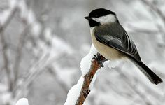 It the dead of winter when I see most of the chickadees. They are easier to see on a white background.