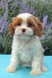 Cavachon Cavanese Puppy Breeder Northern Va Gleneden Cavachons