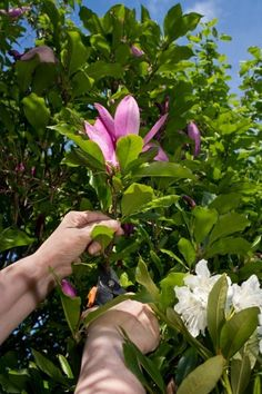 Propagating Magnolia Trees: Learn How To Root Magnolia Trees - If you are interested in propagating magnolia trees, you have various options. Seeding is always possible, but starting a magnolia tree from cuttings or magnolia air layering are considered better options. Click here for more information.