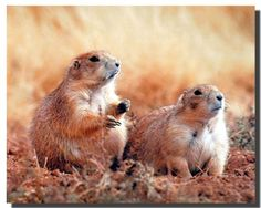 Are you a dog lover? If yes then create your own paradise with this wonderful dog image wall poster. This beautiful poster captures the image of very cute Prairie Dogs looking very innocent and adorable. This poster is perfect gift for any dog lover. This wall poster is removable, re-usable and will not damage your walls. We also ensure the better quality and perfect color accuracy.