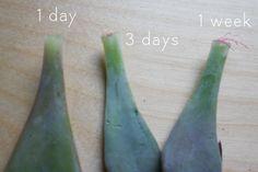 Propagating Succulents   Glue and Glitter