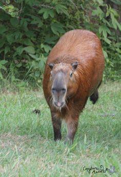 Capybara, Guinea Pigs, Rabbits, Animals, Animaux, Animales, Rabbit, Animal, Bunnies