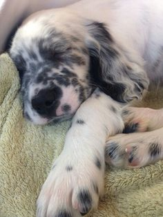 """Click visit site and Check out Best """"English Setter"""" T-shirts. This website is top-notch. Tip: You can search """"your name"""" or """"your favorite shirts"""" at search bar on the top."""