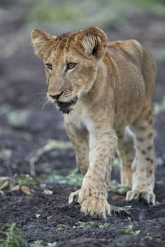 Lions Photos, Mountain Lion, Game Reserve, Leopards, East Africa, Big Cats, Tanzania, Find Art, Cubs