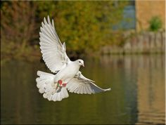 Photograph On the wings. by Ina Turner on Dove Flying, Dove Pictures, Brust Tattoo, Dove Bird, Foto Real, Photo Work, White Doves, Pigeon, Beautiful Birds