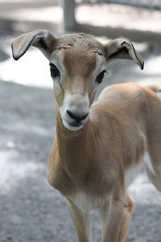 Dama Gazelle Born at the Smithsonian's National Zoo