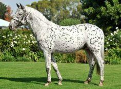 Knabstrupper stallion, Ratzi. photo: H1H.