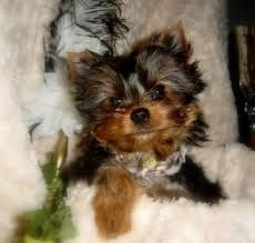 Full Grown Yorkie Google Search Yorkie Puppy Teacup Yorkie Puppy Yorkie