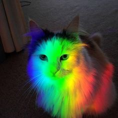 My maine coon Lily went full rainbow Baby Animals Super Cute, Cute Funny Animals, Funny Animal Pictures, Cute Kitten Pics, Cute Cats, Funny Cats, Maine Coon, Cat Aesthetic, Colorful Animals