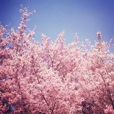 arboles rosas