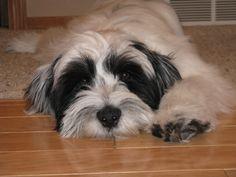 So sleepy- Tibetan Terrier puppy