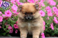 Gus – Pomeranian Puppy  #pomeranian x ⭐ MY BLOG: www.ditatime.weebly.com  ⭐ FB: www.facebook.com/DitaTime