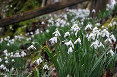 Snowdrops opposite Ethy Mill, Lerryn, Cornwall