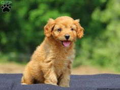 Cavapoo Puppies For Sale In PA!