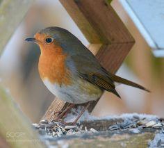Robin ............ by IbKroghJohansen #animals #animal #pet #pets #animales #animallovers #photooftheday #amazing #picoftheday