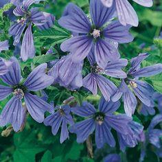 Nouveau Agapanthus Catharina bleu foncé plante jardin fleurs excellent