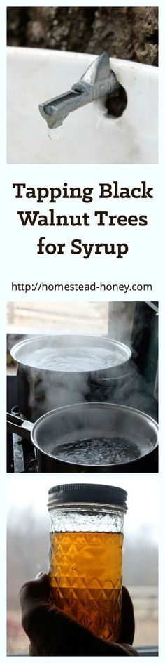 A Foraging Witch :: Did you know that you can tap black walnut trees for syrup? Learn more at Homestead-Honey.com