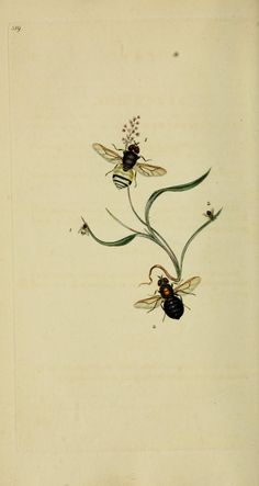 v. 15 (1811) - The natural history of British insects : - Biodiversity Heritage Library