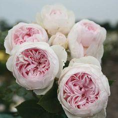 "Earth Angel Floribunda Rose- peony-shape, 2-3"" blooms, 2-3'H, strong, sweet, fruity fragrance. Zone 5."