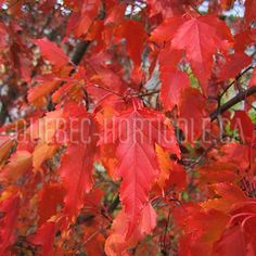 image de Acer ginnala Acer, Horticulture, Planting Flowers, Coin, Landscape, Photos, Gardens, Fast Growing, Flower Colors