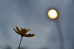 街路灯のオレンジ色の灯りを撮りたくて、前景に花を入れてみました。かなり暗くなってきていましたので、花はシルエットのようになりました。 街路灯 Photography Portfolio, Dandelion, Celestial, Flowers, Plants, Outdoor, Outdoors, Dandelions, Plant