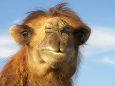 F39 Camel, Animals, Animales, Animaux, Camels, Animal, Animais, Bactrian Camel