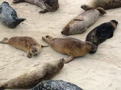# 8 Best Roadside Attraction:  La Jolla seals in San Diego, Pacific Coast Highway #travel  #EsuranceDreamRoadTrip