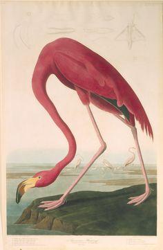 "The Birds of America, Plate #431: ""American Flamingo"", John James Audubon, 1827–1838, Transfer from the North Carolina State Library"