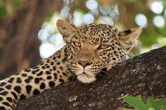 Nejkrásnější místo v Africe - National Geographic National Geographic, Panther, World, Cats, Animals, Africa, Gatos, Animales, Animaux
