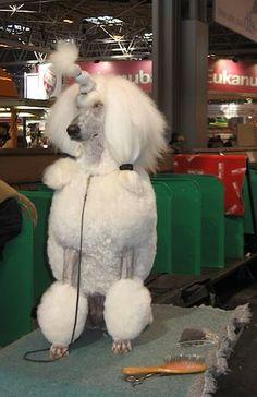 Standard poodle at Crufts dog show 2011