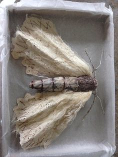 Script Moth , Caroline Lingwood