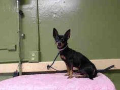 SAFE --- #A4776840 I'm an approximately 2 year old male min pinscher. I am not yet neutered. I have been at the Carson Animal Care Center since November 16, 2014. I will be available on November 20, 2014. You can visit me at my temporary home at C233.    Carson Shelter, Gardena, California. https://www.facebook.com/171850219654287/photos/pb.171850219654287.-2207520000.1416680267./332335173605790/?type=3&theater