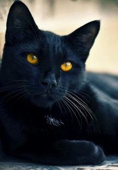 awesome black cat, love the color of the eyes! Pretty Cats, Beautiful Cats, Animals Beautiful, Most Beautiful Cat Breeds, Gorgeous Eyes, I Love Cats, Crazy Cats, Cool Cats, Black Cat Breeds