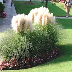 Learn more about Hardy Pampas Grass! Read up on this plant or stop into Sunnyside Gardens in Minneapolis to talk to our experts! Ornamental Grass Landscape, Ornamental Grasses, Landscape Grasses, Evergreen Landscape, Texas Landscaping, Front Yard Landscaping, Landscaping Ideas, Minneapolis, Winter Garden