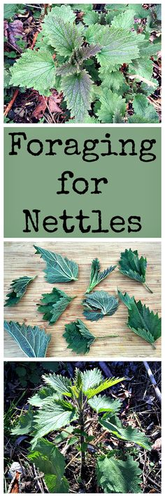Stinging nettles are great for food and medicine, but need a little care when harvesting and preparing.