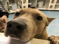 Staten Island SINATRA – A1101281  MALE, TAN / WHITE, AKITA / ALASKAN HUSKY, 7 yrs OWNER SUR – EVALUATE, NO HOLD Reason CHILDCONFL Intake condition UNSPECIFIE Intake Date 01/09/2017, From NY 10301, DueOut Date 01/09/2017