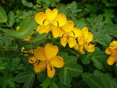 Cassia senna syn. Senna Alexandria Perfect that it blooms in the fall! Also, Known As: Alexandrian Senna Senna The senna plant is a small shrub belonging to the Caesalpiniaceae family. Incidentally, the senna belongs to two genus of …